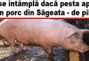 Buzoienii care au porc în gospodărie stau cu frica-n sân.  Pe câți km se omoară porcii preventiv ?