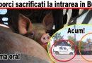 Proprietarul voia să ajungă cu porcii la Bisoca. Acțiune în desfășurare. Iată ultimele informații!