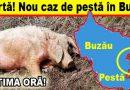 Un porc mort, unul sacrificat. Iată în ce comună!